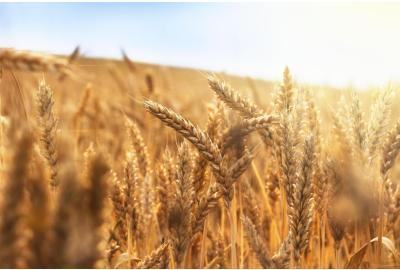 Cómo tomar hierba de trigo y sus propiedades
