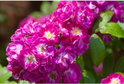 Propiedades y para qué sirve el aceite rosa mosqueta